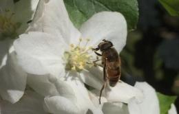 Abeille qui butine les fleurs de pommier