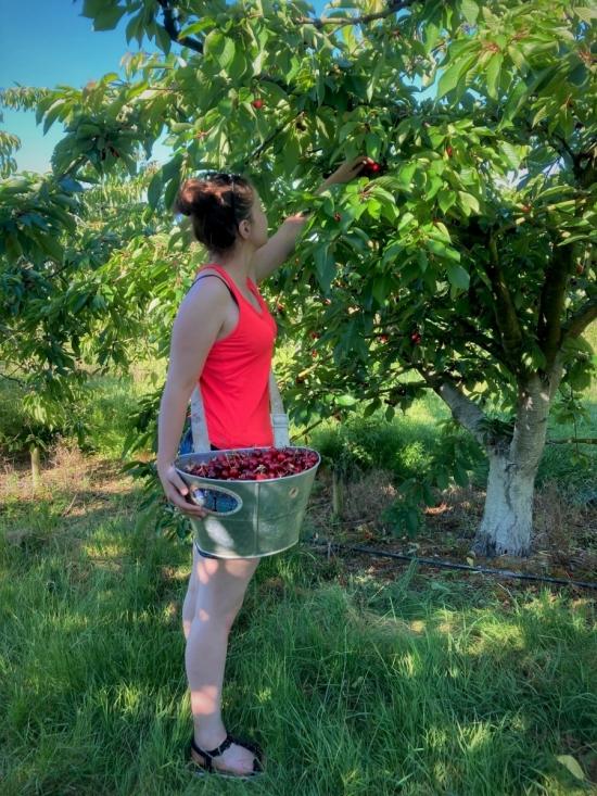 Cueillette des cerises