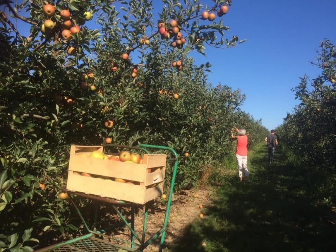"""Cueillette des pommes """"Rubinette"""""""